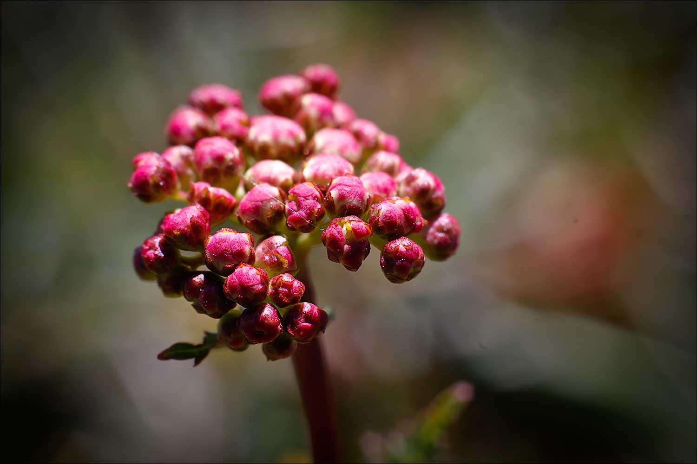blommor_sköna_4